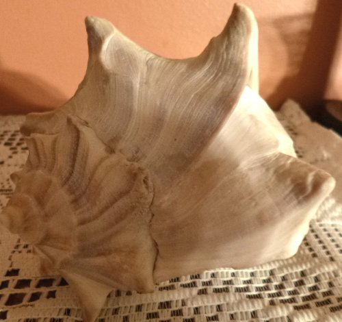 Large white seashell