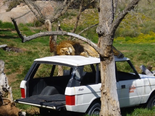 Photo of lion sleeping on top of a 4x4