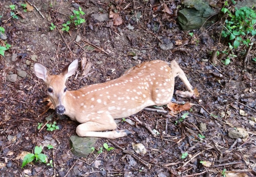 Injured deer
